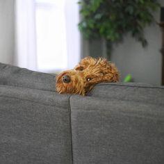 Did I just hear a string cheese wrapper?  #oliverthegoldendoodle #goldendoodle
