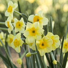 For great tips for daffodil care go here for some tried-and-true tips for success. http://www.southernliving.com/home-garden/gardens/tips-daffodil-care-00400000010377/