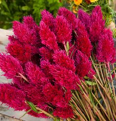 Eternity ImprovedCelosia Seed from Johnny's  Click here to view larger image