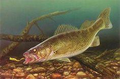 Walleye pike - a fine freshwater fish
