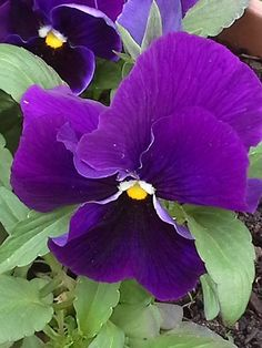 perfect pansy in my garden 17may15