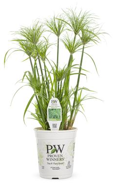 Graceful Grasses® Prince Tut™ - Dwarf Egyptian Papyrus - Cyperus papyrus | Proven Winners