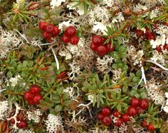 Clumps of not quite ripe lingonberries (Vaccinium vitis-idea) are surrounded by reindeer moss (Cladonia rangiferina), the caribou's favorite food.