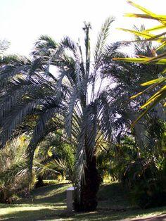 Phoenix dactylifera. Palmier dattier.