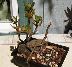 jade plant as a bonsi Jade Bonsai, Bonsai Plants, Jade Plants, Cacti And Succulents, House Plants, Madness, Flower Arrangements, Cactus, Trees