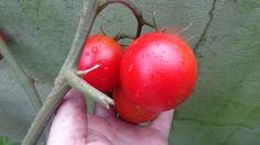 Como plantar tomates, processo completo!