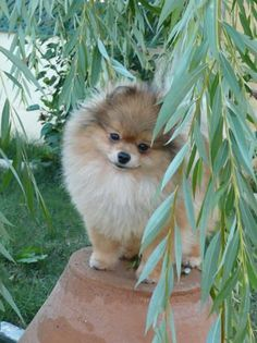 Gemini Pomeranians ~Oregon~ Gemini's Hot Piece Of Ice