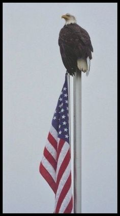 Patriotic bald eagle on Nestucca River flag pole. Email full sizeUdo LindikoffUdo Lindikoff of Portland photographed a patriotic bald eagle from his vacation home in Pacific City on the Nestucca River. I Love America, God Bless America, American Pride, American History, American Flag Pics, American Photo, Eagle American, American Diner, American Symbols