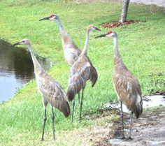 Florida Sandhill Crane Birds