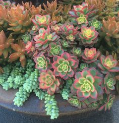 As pretty as a bouquet of flowers. Love the pink-tipped leaves and yellow centers of Aeonium 'Kiwi,' seen here with Sedum morganianum and Sedum nussbaumerianum. https://shop.cacti.com/?post_type=product&s=Sedum+nussbaumerianum