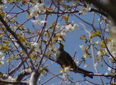 ヒヨドリは「花盗人」と呼ばれています。 蜜はもとより、花ごと食べます。