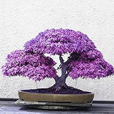 Amazon.com : Adarl 20 pcs / Bag Rare Japan Maple Seed Bonsai Maple SeedsTree Seeds Balcony Plants For Home Garden Purple : Patio, Lawn & Garden