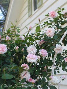 new rose arbor in front yard ~ C.Repasy