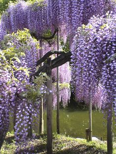 ☆Wisteria, Ashikaga Flower Park, Tochigi, Japan I want these flowers Purple Flowers, Beautiful Flowers, Beautiful Places, Purple Wisteria, Wisteria Garden, Beautiful Gorgeous, Beautiful Landscapes, Beautiful Gardens, Belleza Natural