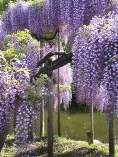 Wisteria, Ashikaga Flower Park, Tochigi, Japan  I want these flowers