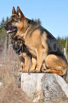 Mother & daughter German Shepherds. #GermanShepherds #dogs #puppies…