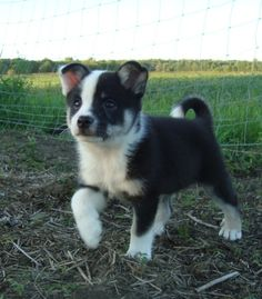 icelandic sheepdog. i am actually getting one of these in a couple years. no joke. cutest things everrr :)