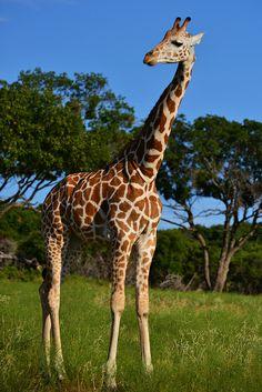 Giraffe - Fossil Rim 350