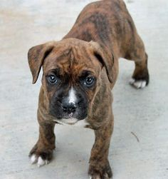 Penny the Boxer.  Cuuuuuute!