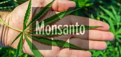Allegations abound that Monsanto and George Soros have been planning to unveil genetically modified, patented cannabis in Uruguay and soon the US.
