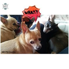 The kids wanna know why I haven't posted a pic of them for a while. Busy? . . . #nofilterneeded #Barkley #aka #happypants #Chloe #chihuahua #Choc #MinPin #family #dogs #mamasgirl #mamasboys #spoiled #wrotten #bratt #furever #home #MinPinCountry #thehouseisquiet #howevalley #kentucky #samsungcameraphone #JehovahCreationIsAwesome