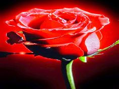 A ROSA A rosa, rainha das flores, é sustentada  por uma haste cercada de espinhos. No entanto, nenhum espinho  consegue machucar sua beleza. Seja assim com você também. Não deixe que as dificuldades consigam  machucar a beleza da sua vida.  Antes, faça como a rosa. Mantenha a sua vida sempre  acima de todas as dificuldades.