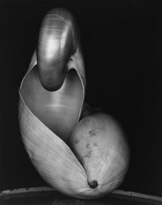 'Shell' (1927) by American photographer Edward Weston (1886-1958). via still life quick heart on tumblr