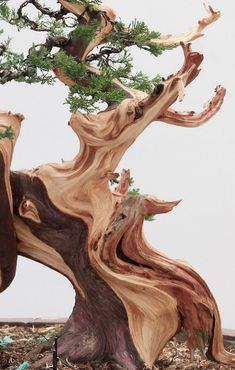 Helpful Guidelines In Growing Indoor Bonsai Trees A Beautiful Wizened Old Tree Weird Trees, Bristlecone Pine, Plantas Bonsai, Dame Nature, Twisted Tree, Unique Trees, Old Trees, Tree Trunks, Tree Forest