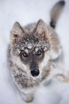 """souhailbog: """" The raccoon eye phase By Goldilocksandthewolf """" - Wolf - Perros Wolf Photos, Wolf Pictures, Animal Pictures, Beautiful Wolves, Beautiful Dogs, Animals Beautiful, Animals And Pets, Cute Animals, Wolf Hybrid"""