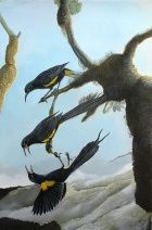 Extinct birds: Hawaiian O'o