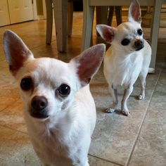 Double the chihuahua,  double the fun