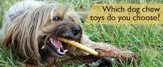 Which chew reigns supreme in your house? https://www.sitstay.com/blogs/good-dog-blog/220137159?utm_campaign=coschedule&utm_source=pinterest&utm_medium=SitStay%20Dogs&utm_content=Which%20dog%20chew%20toys%20do%20you%20choose%3F