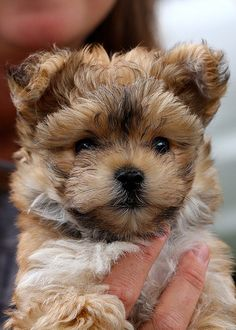 #morkie it looks like an ewok!!! so cute