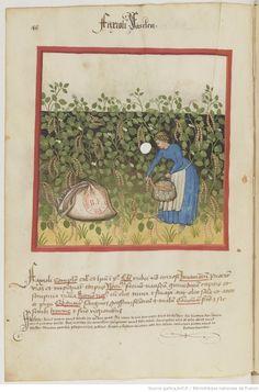 IBN BUTLÂN , Tacuinum sanitatis 15. Jhd Latin 9333  Folio 48v