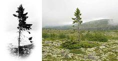 Il gracile aspetto non lascerebbe supporre che quello delle immagini è probabilmente l'albero più vecchio del mondo, ma questa è la realtà scientifica dietro questo abete rosso svedese. La datazione a