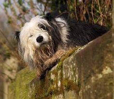 Old English Sheepdog Dogs| Old English Sheepdog Dog Breed Info ...