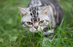Skin Disease (Dermatophilosis) in Cats