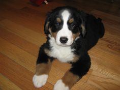 Golden Retriever Bernese Mountain Dog Mix Puppies
