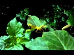 How To Encourage Praying Mantis In The Garden Beneficial Insects Video