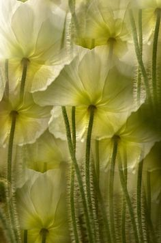 Shades of green Flowers of distinction Mellow Yellow, Shades Of Green, Beautiful Flowers, Beautiful Beautiful, Mother Nature, Planting Flowers, Poppies, Bloom, Pictures