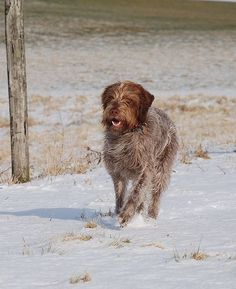 wirehaired griffon--my dog, Lessa, was a terrier/griffon mix. Great dog!