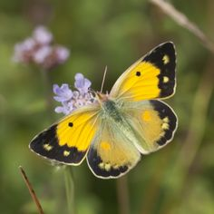 UK Butterflies - Clouded Yellow - Colias croceus