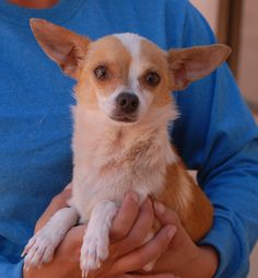 "Melvin is a humble little gentleman who seeks serenity and stability.  He is a good-looking Chihuahua, 4 years of age, neutered, great with other dogs, and debuting for adoption today at Nevada SPCA (www.nevadaspca.org).  Melvin is one of three dogs we rescued upon discovery that the previous owner had threatened to ""dump them in the mountains"".  (The other two will be ready for adoption soon.)  We want Melvin and others to only know the best of human nature from now on."
