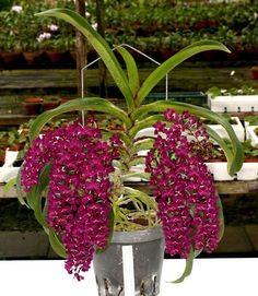 Nome cientifico : Rhynchostylis gigantea Esta linda é exótica orquídea é nativa da Índia, nomeada popularmente como Orquídea Rabo-de-Raposa, ainda é pouco conhecida no Brasil. A variedade Rhynchostylis Gigantea RED, tem flores de cor vermelho escuro, exatamente a flor da primeira foto, que podem variar do vermelho escuro para a cor vinho escuro, dependendo do trato dado a planta. Esta orquídea pode durar décadas, e quanto mais idade mais valorizada, e mais flores irão surgir, plantas…