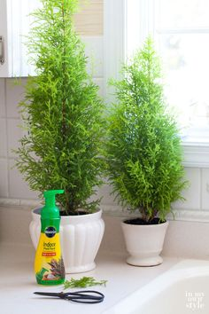 Lemon Cypress Bushes make a pretty indoor plant with their pyramidal shape and light green color.  They have a lemon scent when you rub your fingers over the branches. Every few weeks trim stray branches with scissors to keep the pyramidal shape and fertilize once a month with Miracid. Keep soil moist but not wet and place by a sunny window.