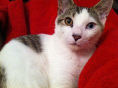 Gorgeous Cat With Heterochromia Iridum [Different colored eyes]