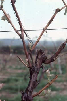 Grape Video 21   The Basic Skills for Pruning Grapevines