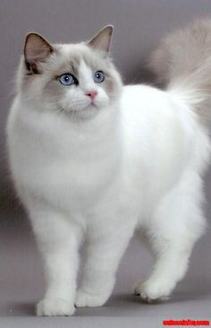 Ragdoll Cat - http://cutecatshq.com/cats/ragdoll-cat-2/