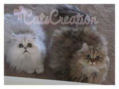 Persian Kittens for Sale, Persian Cat Breeds, Doll Faced Silvers & Whites