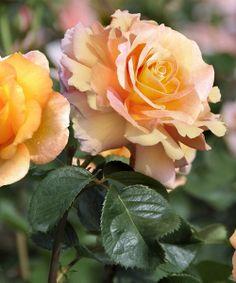 Dr. Brownell Sub-Zero Garden Rose